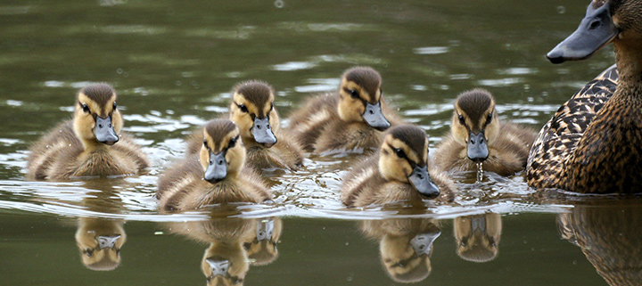 Outer Banks events - Hatteras Village Waterfowl Festival