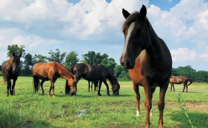 Outer Banks events - Corolla wild horses - rescue farm - Betsy Dowdy Equine Center